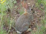 Cottontail bunny in yard