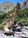 Bristlecone Pine high in the Tushar Mountains