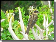 Utah Black-headed Grosbeak