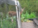 deer in garden at Bullion Creekside Retreat
