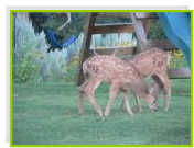Fawns on the playground lawn at Bullion Creekside Retreat