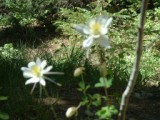 Colorado Columbines on Paiute Trail in Utah