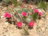 Red Cholla (Prickly Pear) blooms