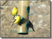 Utah Common Goldfinches near the Paiute Trail