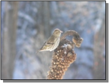 Utah Pine Siskins near the Paiute Trail