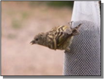 Utah Pine Siskin in Bullion Canyon